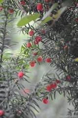 曼地亞紅豆杉盆景