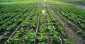Plant & Root Regulator ( Liquid )