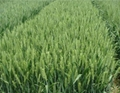 Golden Wheat  ( Liquid )