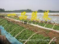 山东莱阳紫薯种苗批发 1