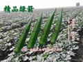綠箭黃秋葵種子