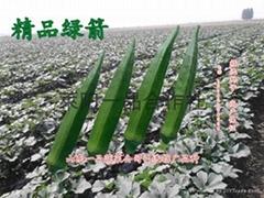 绿箭黄秋葵种子