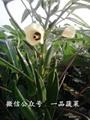 東京五角黃秋葵種子
