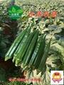 Okra水果黃秋葵 1