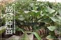日本板栗红薯苗