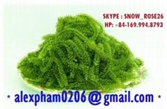 Seagrapes Seaweed Caulerpa Lentillifera